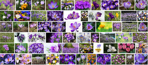 crocus search on google screenshot