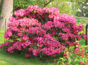 I Always Admired The Large Bushes Growing In School Grounds My Early Days Never Knew What They Were Then But Their Beautiful Image